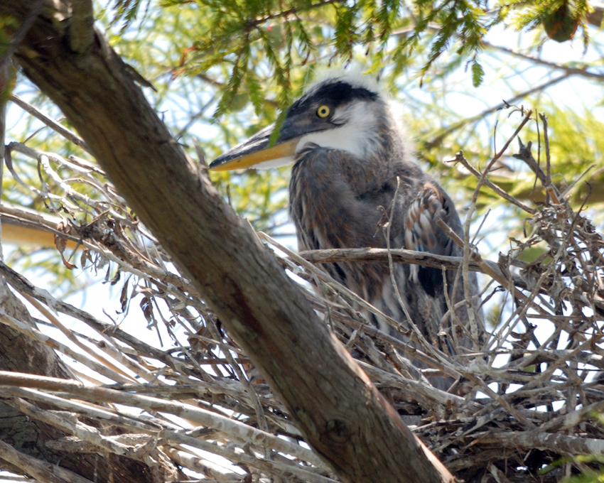DNB Blue_Heron_Chick