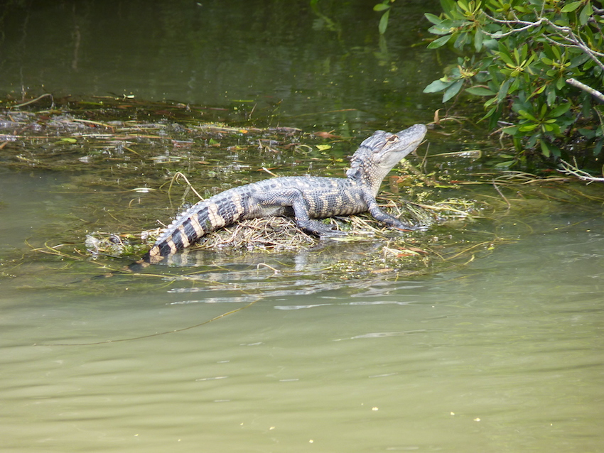 DNB Gator