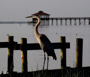 Great Blue Heron on Mobile Bay. Photo credit: Facebook/Alabama Coastal BirdFest, Debbie Watkins
