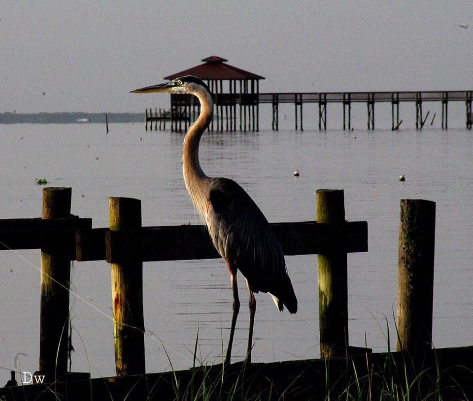 Great Blue Heron on Mobile Bay. Photo credit: Facebook/Alabama Coastal BirdFest, Debbie Watkins