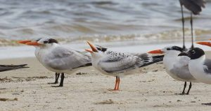 Royal Terns. Photo from Facebook/Dauphin Island Wildlife