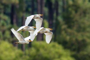 White Ibis. Photo credit: Facebook/Alabama Coastal BirdFest, Brad Leonard