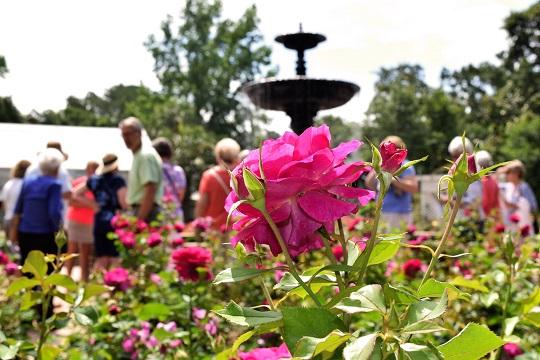 Bellingrath roses